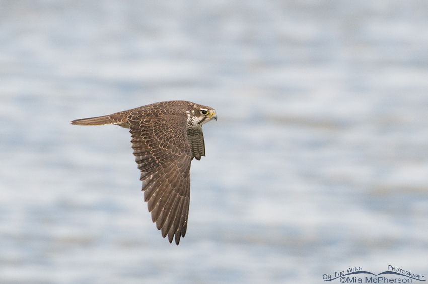 Adult Prairie Falcon fly by