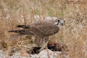 Juvenile Prairie Falcon on a Ruddy Duck