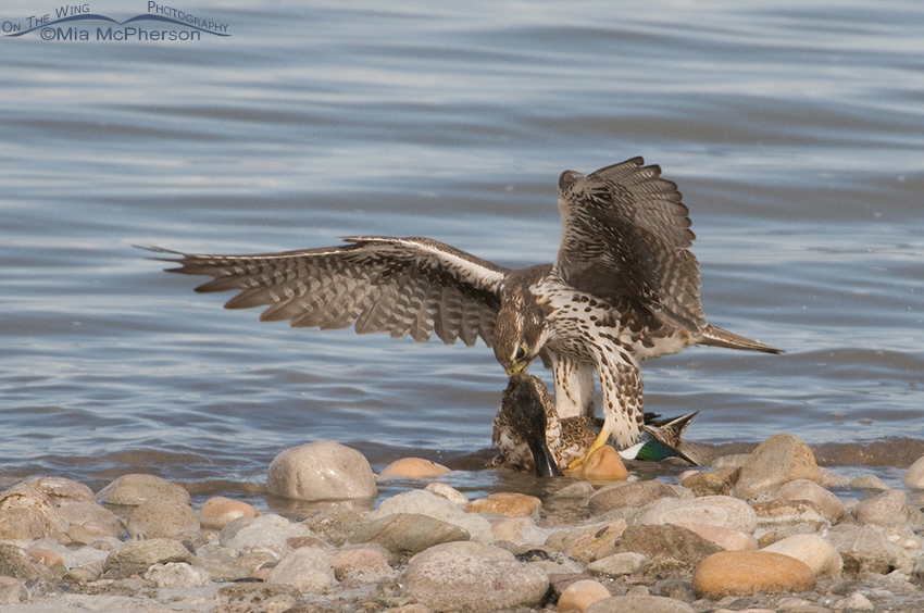 Prairie Falcon tearing into the neck of a Northern Shoveler
