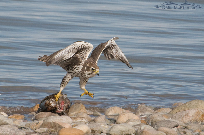 Prairie Falcon with grip on dead Northern Shoveler