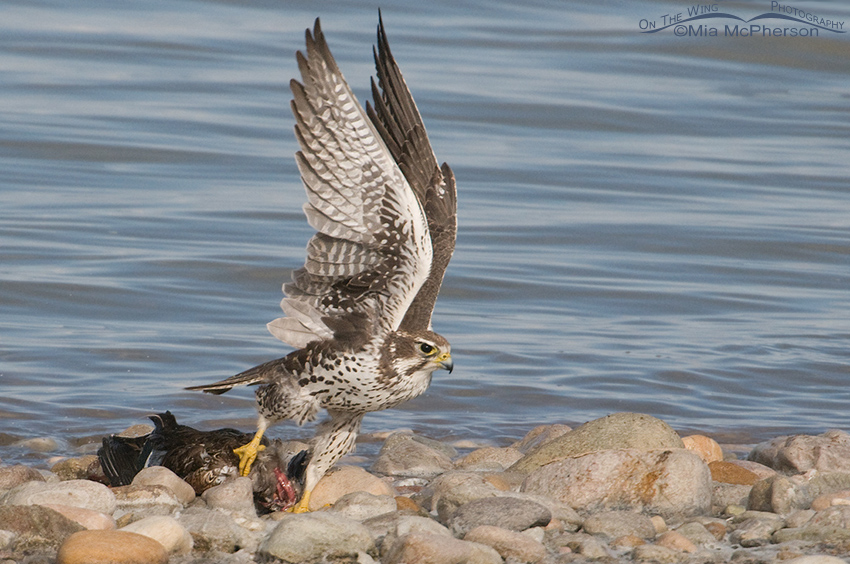 Prairie Falcon adult lifting prey over rocks