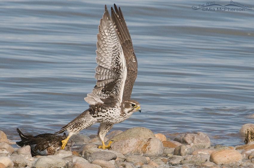 Prairie Falcon lifting Northern Shoveler over rocks on the shoreline