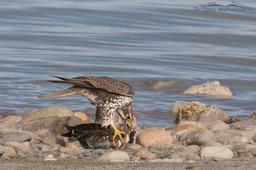 Prairie Falcon feasting on a Northern Shoveler