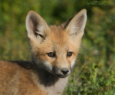 Red Fox Kit portrait - horizontal
