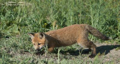 Red Fox kit practicing stalking skills