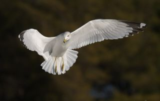 Ring-billed Gull against dark background