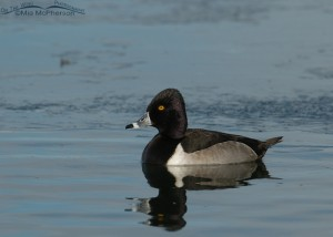 Ring-necked Duck on an icy pond