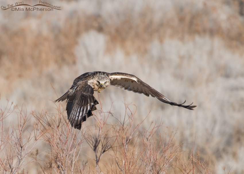 Rough-legged Hawk in flight near the Antelope Island Marina