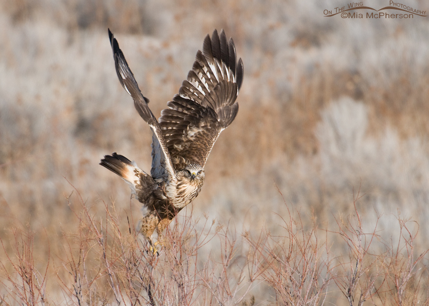Rough-legged Hawk with wings up