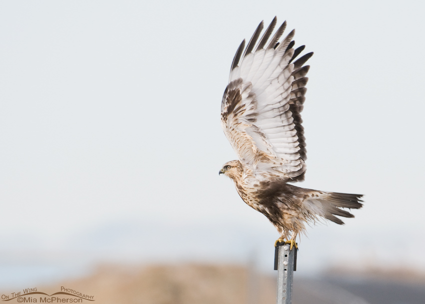 Rough-legged Hawk Lift Off!