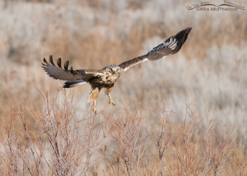 A Rough-legged Hawk spread eagle