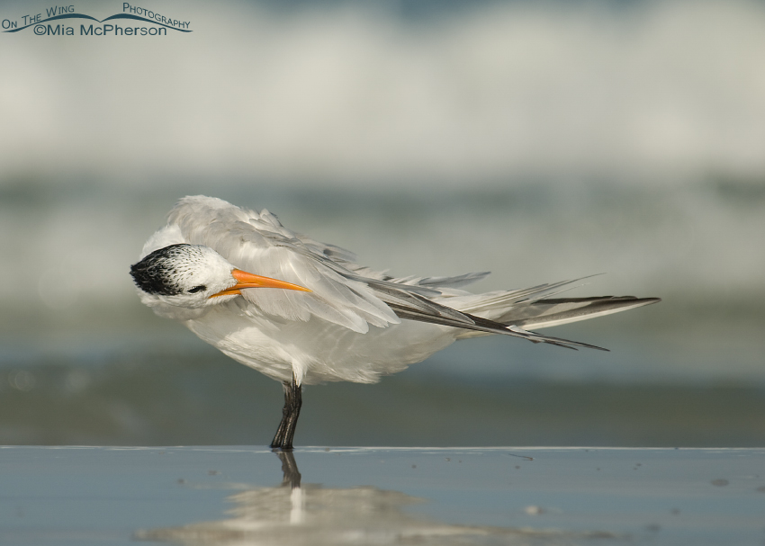 Royal Tern preening wing feathers