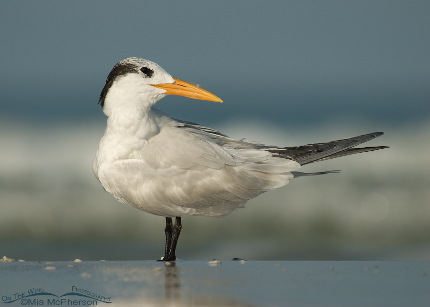 Royal Tern Preening on the Gulf shoreline