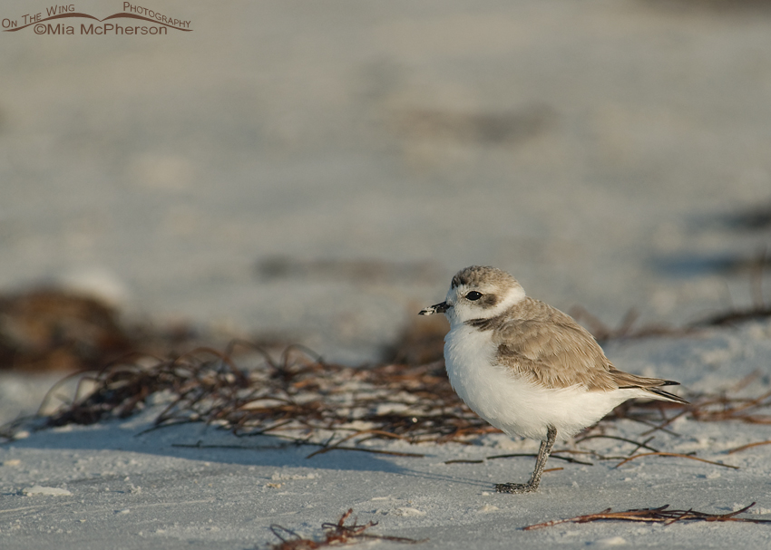 Snowy Plover resting on the wrack line