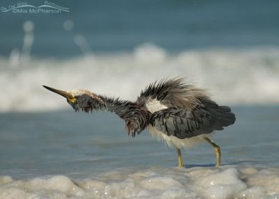 Tricolored Heron shaking its head