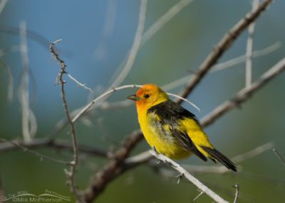 Western Tanager at Fish Springs NWR