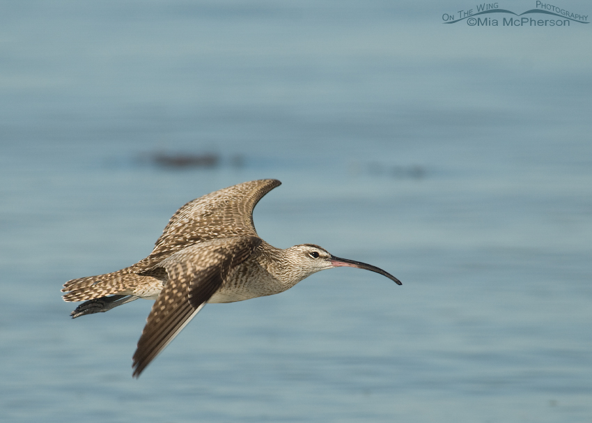 Whimbrel in flight over the Gulf of Mexico