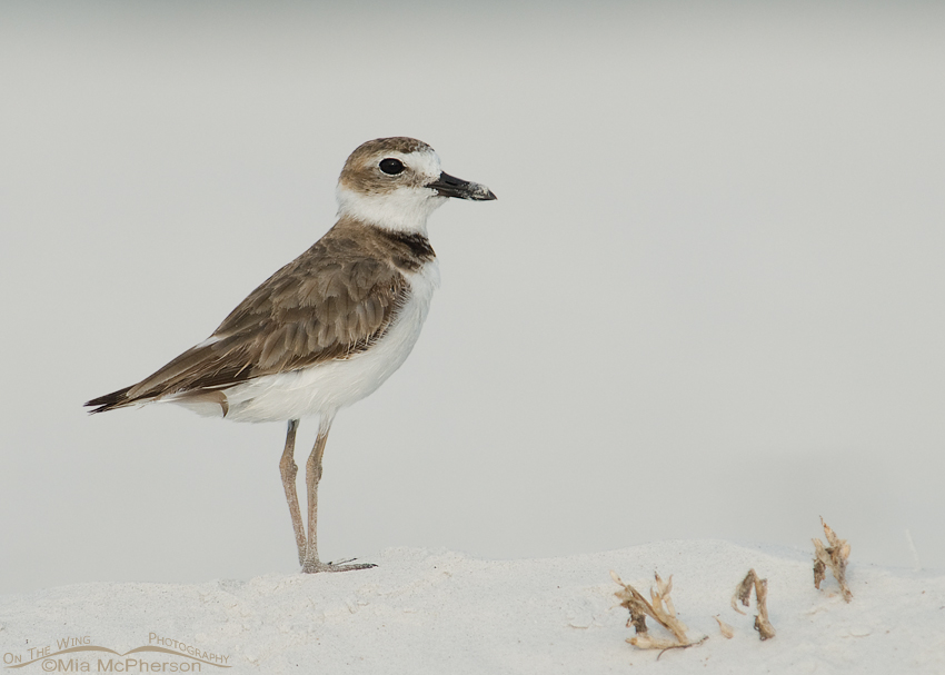 Adult Wilson's Plover on snow white sand