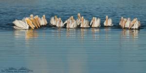 American White Pelicans - Class Picture