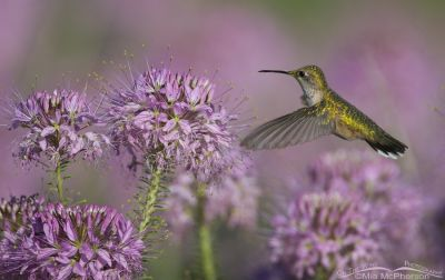 Black-chinned Hummingbird and Rocky Mountain Bee Plant