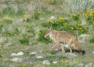 Coyote surrounded by Gray's Biscuitroot on Antelope Island