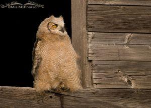 Great Horned Owl juvenile in granary window