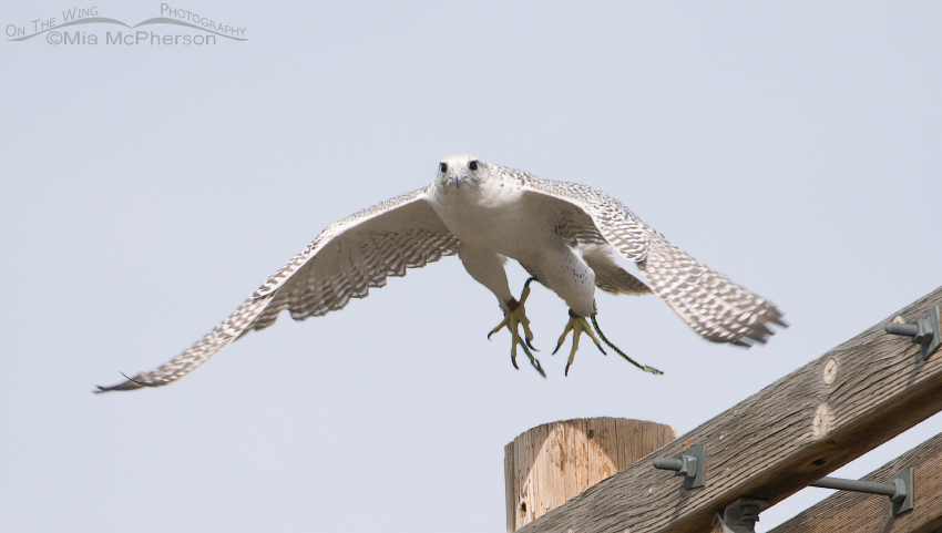 Gyrfalcon lift off - Escaped Falconry Bird
