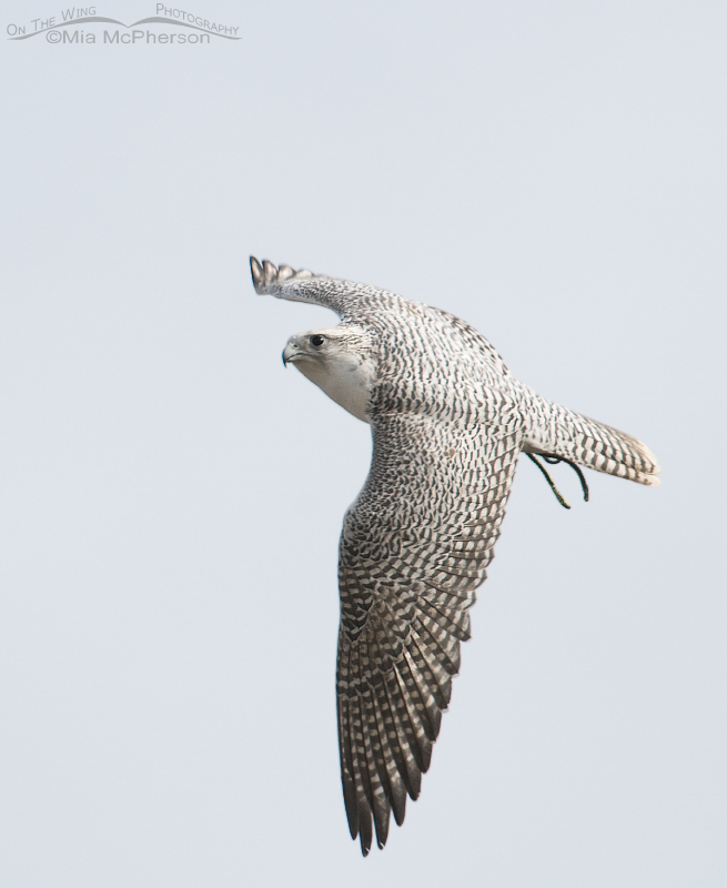 White Gyrfalcon – Yet another escaped falconry bird! – Mia ...