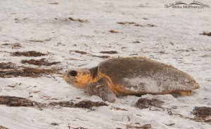 Female Loggerhead Turtle leaving her nest site at Fort De Soto County Park