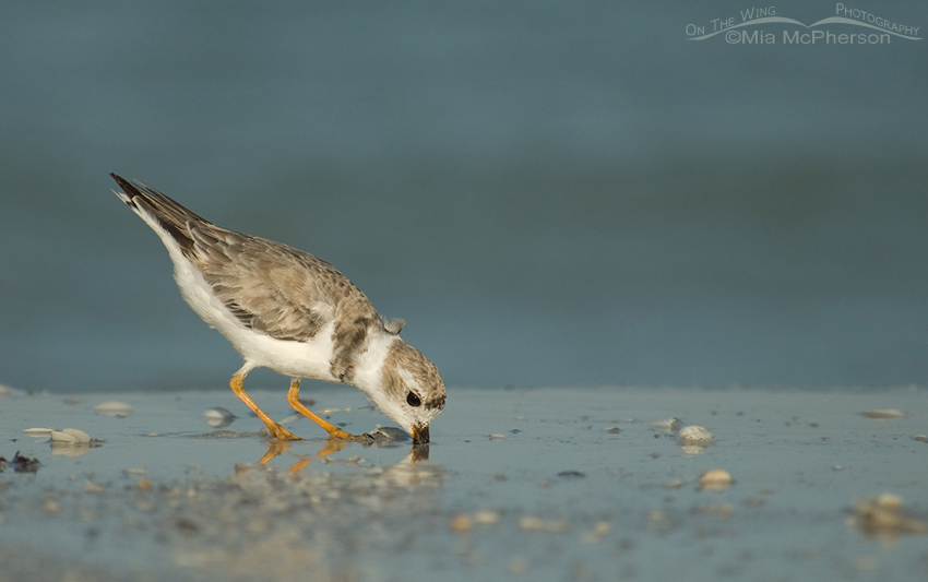 Foraging Piping Plover