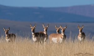 Pronghorn does on an Antelope Flat hillside