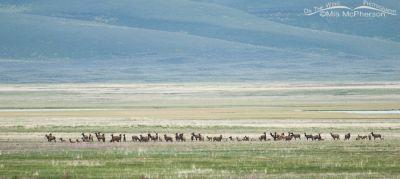Elk herd at Red Rock Lakes NWR