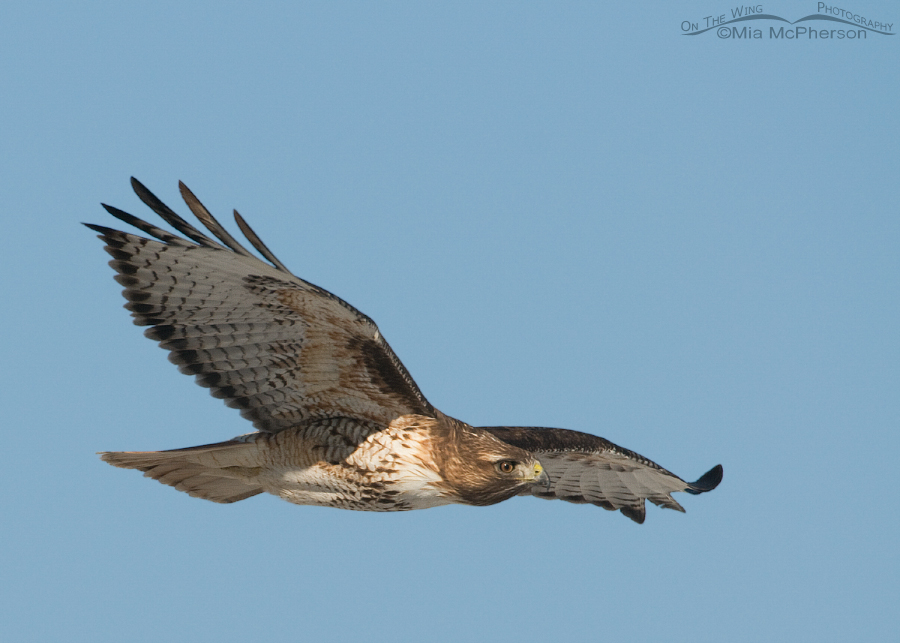 Red-tailed Hawk in Cedar Valley, UT