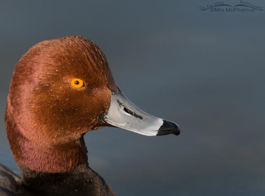Redhead drake portrait