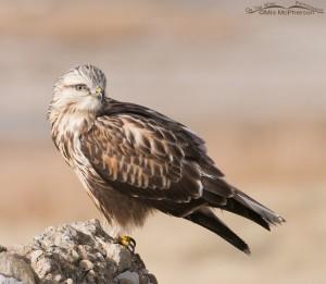 Side view of a Rough-legged Hawk