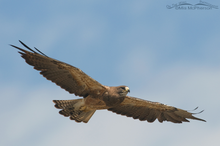 Swainson's Hawk in flight over Beaverhead County, Montana