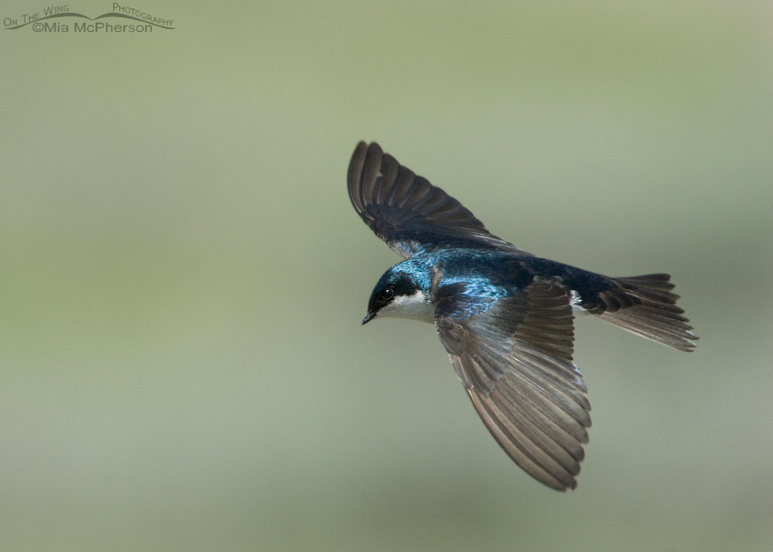 Male Tree Swallow in flight