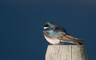 Male Tree Swallow with shaded mountains in the background