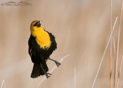 Yellow-headed Blackbird male about to grab a midge from the air