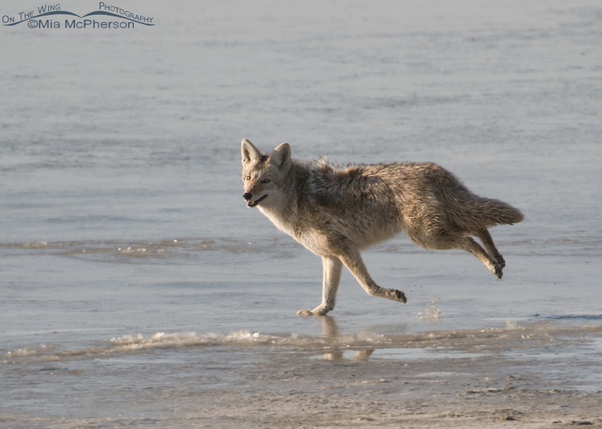 Coyote running by the Great Salt Lake
