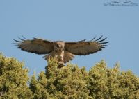 Male Red-tailed Hawk about to mate with the female