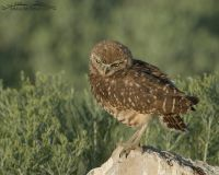 Juvenile Burrowing Owl with its head cocked