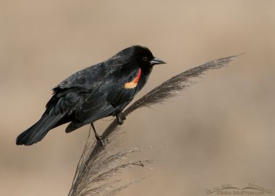 Red-winged Blackbird male on a spring day