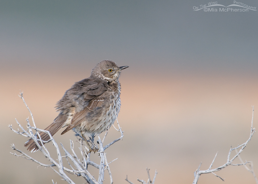 A fluffed up Sage Thrasher and pastel hues