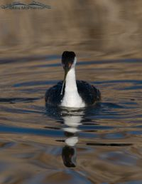 Western Grebe head on with a wiggly reflection