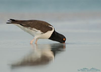 American Oystercatcher in dawn light