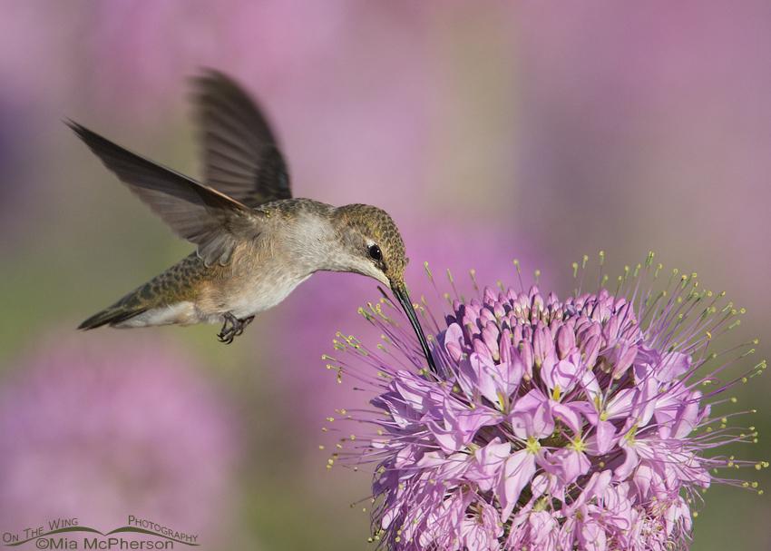 Female Black-chinned Hummingbird feeding
