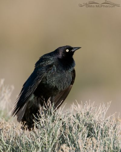 Brewer's Blackbird male displaying