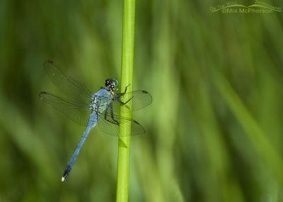 Eastern Pondhawk Dragonfly male