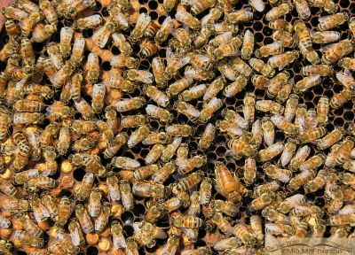 Honey Bees at a hive